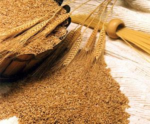 Резултат слика за pšenica