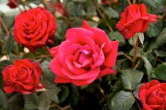 Selenča će mirisati na organske ruže